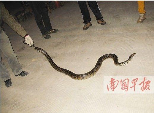 两条蟒蛇被擒 一条是国家一级保护动物缅甸蟒(图)