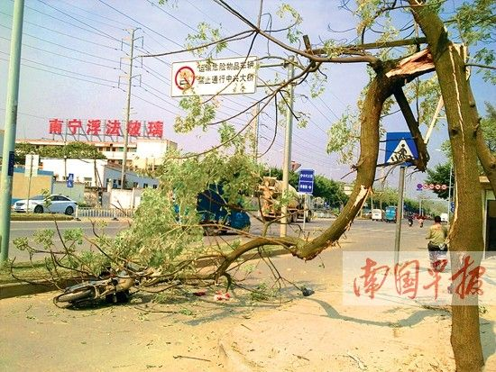 突然折断的苦楝树砸中电单车。南国早报记者 邓晓衡 摄