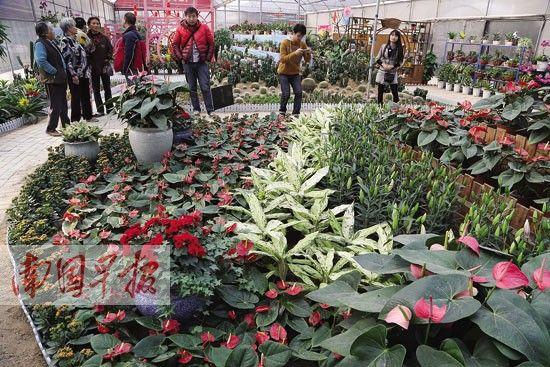 南宁市花卉公园的名贵花卉展吸引了不少市民到此一游。 南国早报记者 唐辉吉摄