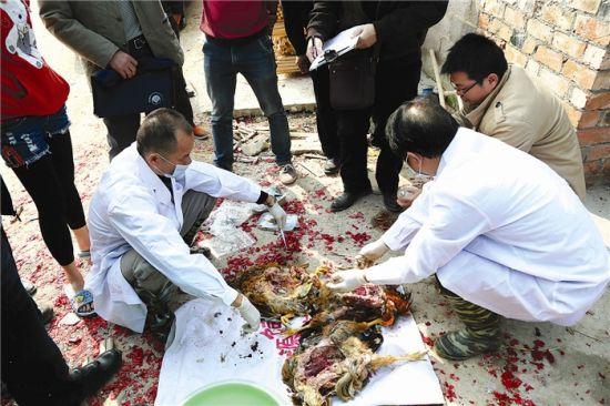 1月2日中午,南宁市高新区动物卫生监督所工作人员到现场解剖死鸡做调查。邹财麟 摄