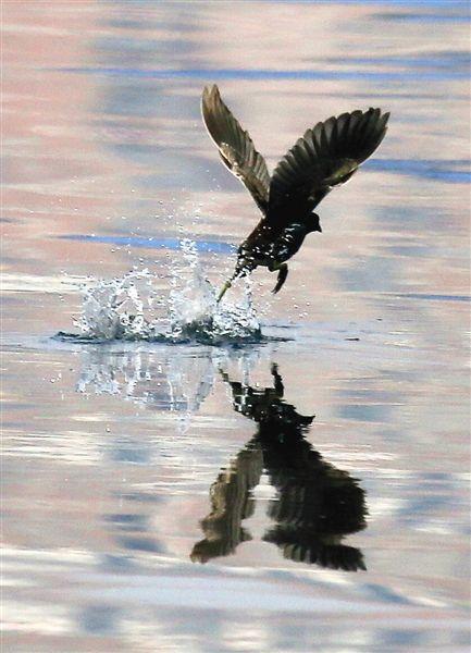 黑水雉在心圩江水面起飞的瞬间。