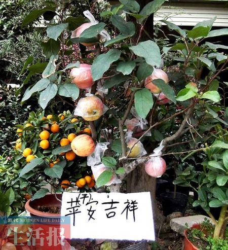"""商家摆卖的盆栽""""苹果树""""树高仅1米左右,果实累累。"""