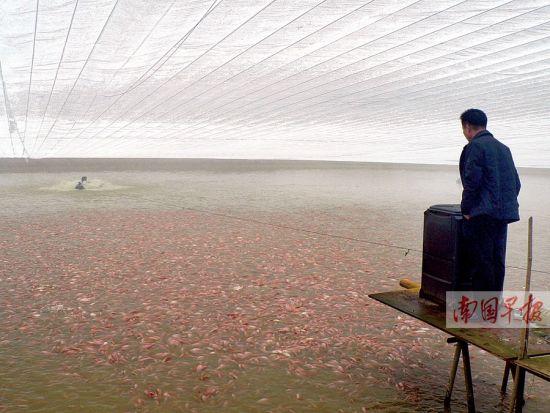 陆培坚正在给红罗非鱼鱼苗喂食,由于使用了大棚保温措施,鱼苗可以安全过冬。记者 王春楠 摄