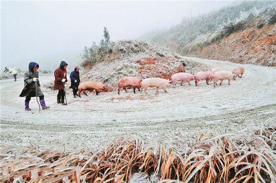 2月9日,三江侗族自治县部分山区路面结冰。在黔桂交界的三省坡上,车辆已无法正常通行,当地村民委使生猪卖个好价钱,自发赶猪前往贵州市场贩卖。曹世英摄