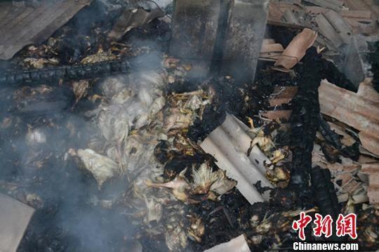 """图为失火养殖场内的8000只鸡惨变""""烤鸡""""。图片来源:中国新闻网"""