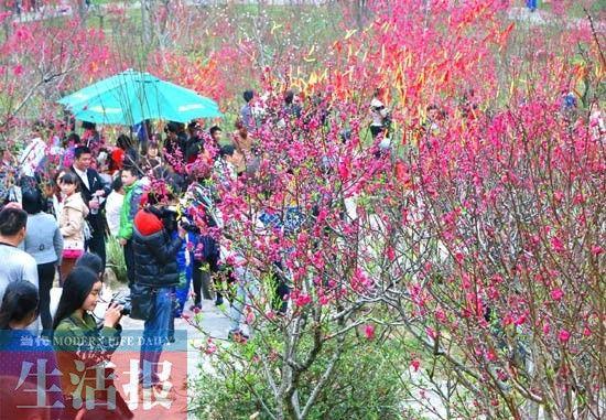 青秀山上桃花绽放。