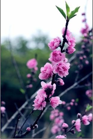桃花生长步骤图