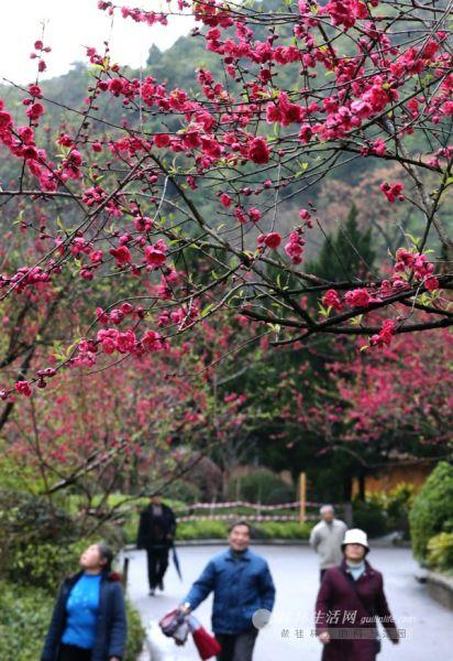 市民与游客从西山公园里盛开的桃花下走过