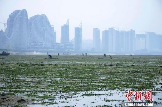 3月12日,大量绿色海藻覆盖广西北海市高德镇附近海滩,延绵数公里。翟李强 摄