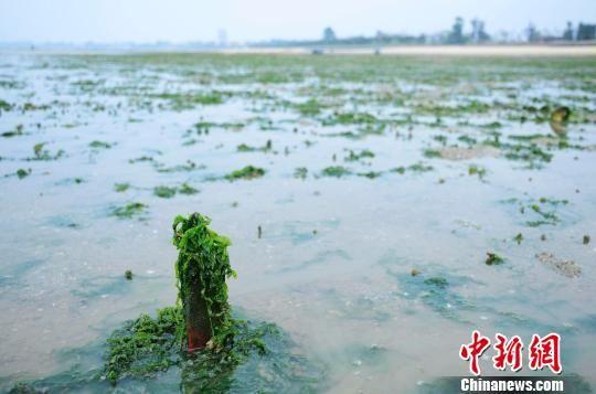 3月12日,广西北海高德镇附近海域海滩被绿藻侵袭。翟李强 摄