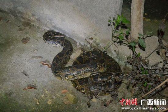 陆川警民将一条10公斤大蟒蛇放归山林(图)