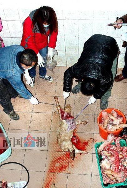 """柳州市动物卫生监督部门与当地警方于近日铲掉一条非法收购、加工和销售病死猪肉的""""产业链"""",抓获4名违法人员,查获近1吨问题猪肉。图为动物卫生部门执法人员正对现场查获的死猪肉取样送检。记者石红星 摄"""