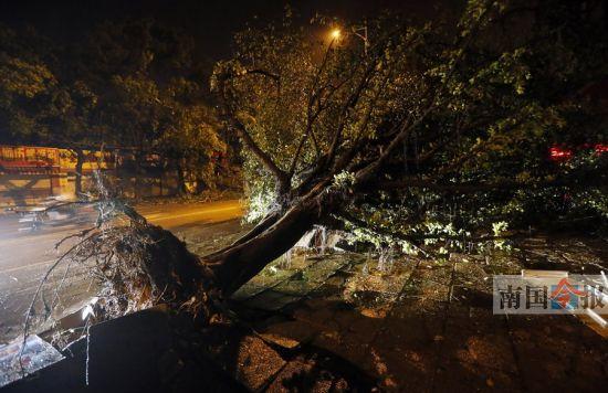 凌晨3时,和平路上,一棵大榕树被连根拔起。 记者颜篁 摄