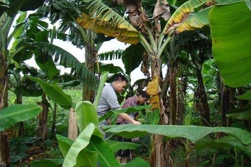 2013年,科研人员在广西南宁市坛洛镇进行香蕉枯萎病调查。 广西农科院供图
