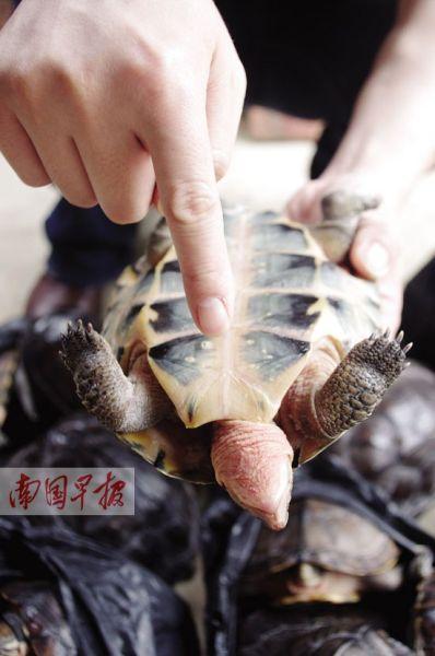 被烫死的龟脖子发红。记者 李俭芹 摄