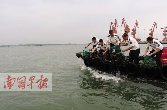 渔政执法人员将中华鲎放生大海。 韦瑞华摄