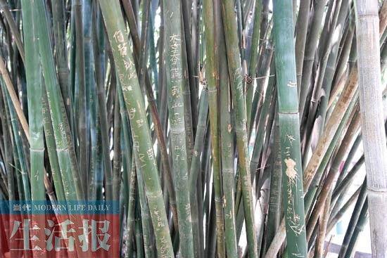 南宁一家公园竹子被刻上字 图:当代生活报