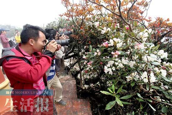 游客在海拔1979米的山顶拍摄变色杜鹃花 图/冯耀华