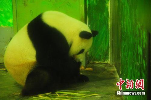 大熊猫在吃粽子。雷彬摄