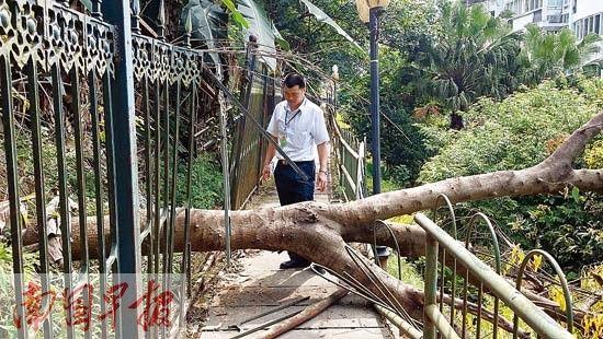 后山的一棵大树倒下,砸破小区围栏,险些砸到山下住宅楼。黄乒宾 摄