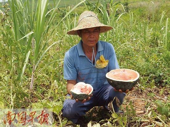 """跟其他品种西瓜相比,小个子""""墨红""""西瓜(右手)的瓜瓤泛白。"""
