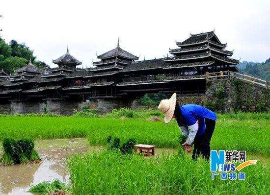 6月6日,广西三江侗族自治县程阳八寨一名居民在风雨桥旁的稻田内劳作