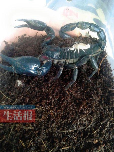 生产后小蝎子爬到母蝎背上。图片由受采访者提供
