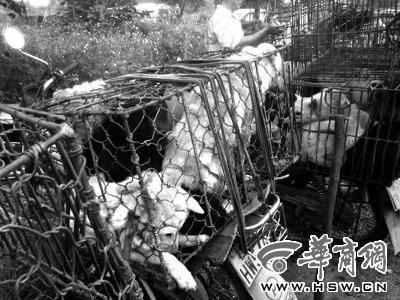 6月14日凌晨,玉林北郊一家狗交易市场,很多狗在这里完成交易