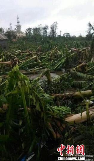 """涠洲岛上农作物因""""威马逊""""受损。图片来源:中国新闻网"""