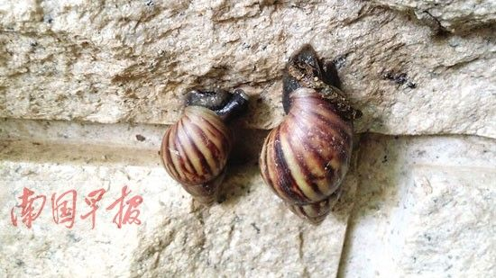在埌东一家单位的院墙上,趴着两只非洲大蜗牛。图片来源:南国早报