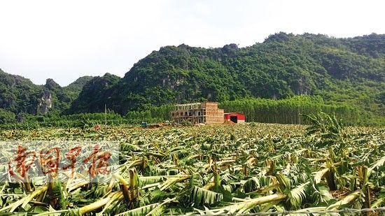 """""""威马逊""""台风让坛洛镇定顿村的这片香蕉林几乎被全部拦腰折断。图片来源:南国早报"""