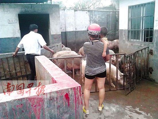 屠宰场工作人员赶生猪进入检疫车间。图片来源:南国早报