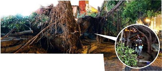 南宁明秀大学路口,一大树突然倒伏致1死3伤。