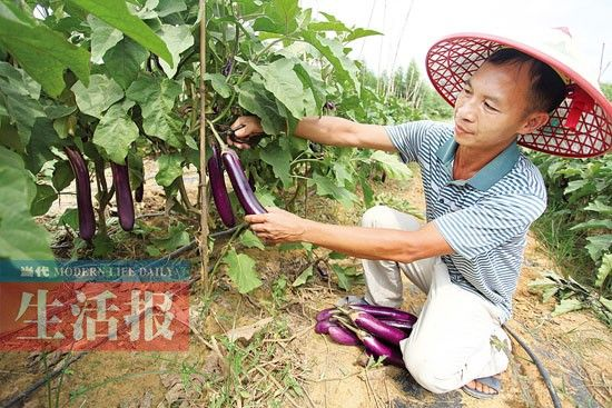 苏常庆等人承包种植的茄子。