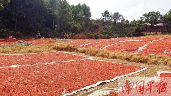 那楼镇不少晒场上晒着经过土法熏硫的辣椒。图片来源:南国早报