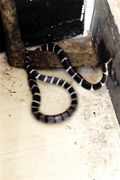 躲进店铺的银环蛇。 南国早报记者 唐辉吉 摄