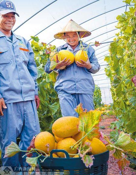 老挝农民在中国-老挝合作农作物优良品种试验站大棚里收摘哈密瓜。罗 杰 摄