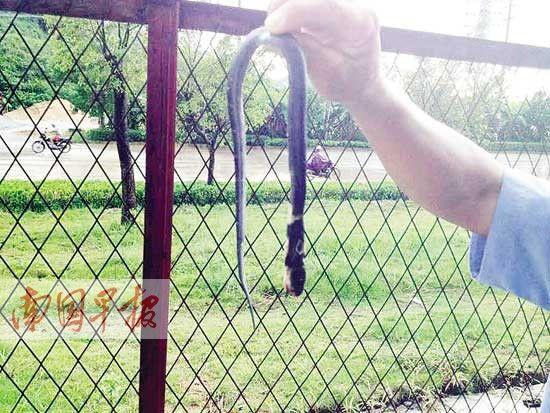 图为闯入车间被打死的蛇。图片来源:南国早报