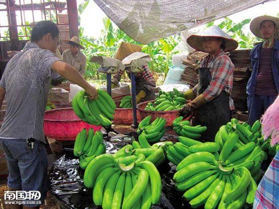 坛洛蕉农将清洗的香蕉过秤。 张文卉 摄