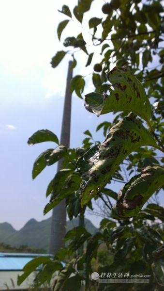 砖厂附近的柿子树树叶布满枯褐的斑点,村民将这些异状的根源指向砖厂污染。