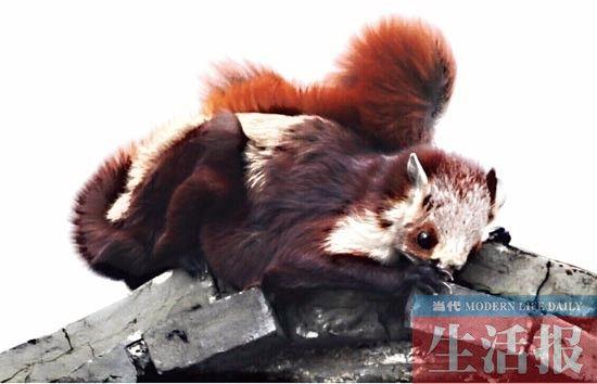 16日早上记者在屋顶拍到的红白鼯鼠