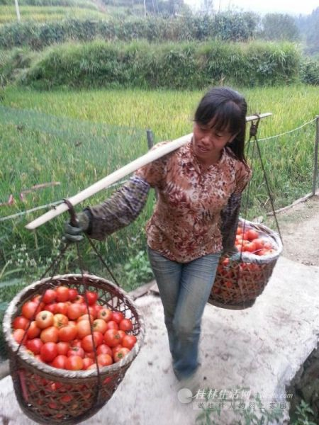 吉武的妻子一趟趟地将地里的西红柿挑回家。可低迷的收购价却让她的汗水几乎白流。 秦宇华 刘净伶 摄
