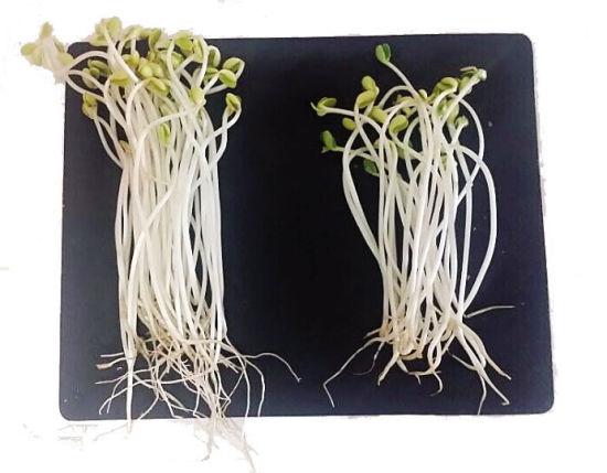 记者分别在南宁市区(图左)和良庆区集市(图右)买到的豆芽。魏碧锋 摄