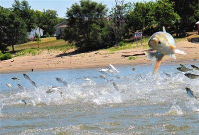 在美国伊利诺伊河,可以见到这样的场面,成群的亚洲鲤跃出水面。