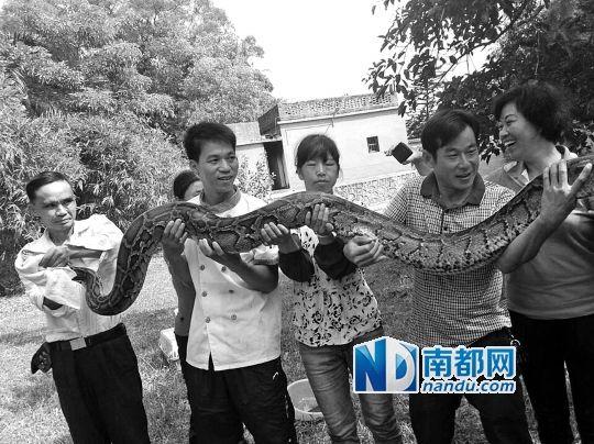 4个工人花了近半个小时才把蟒蛇制服并抬进大箩筐。 图片由尚古养生园员工提供