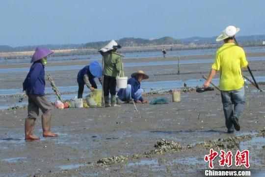 图为养殖户在防城港东湾海域抢挖螺贝。李敏军 摄