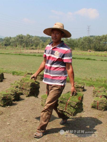 肖祥付种植的草皮卖出了好价钱