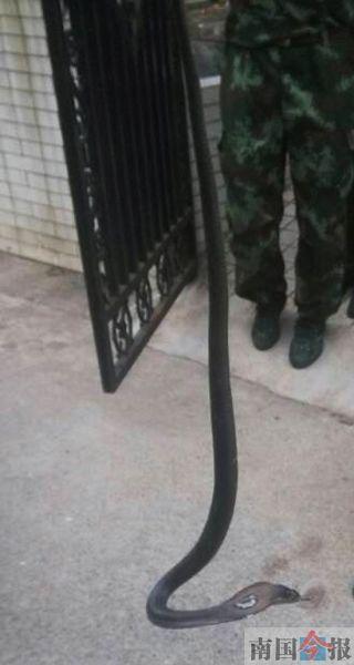 消防官兵紧紧拽住蛇尾。 通讯员 徐东伟 摄