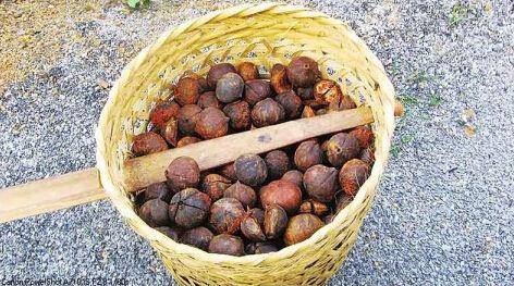 桐油果(外表粗糙,壳裂较多)