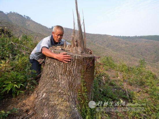 一棵被砍的大树,一个人抱不过来.